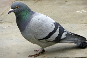 Rock_Dove_(Feral_Pigeon)_(Columba_livia)_-_geograph.org.uk_-_1309587